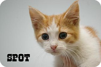Domestic Shorthair Kitten for adoption in Island Heights, New Jersey - Spot