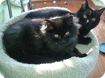 Domestic Longhair Kitten for adoption in Arlington, Virginia - Murphy & Harry