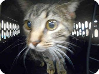 Domestic Mediumhair Cat for adoption in Louisville, Kentucky - EVA