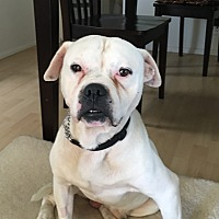 Adopt A Pet :: Biff - calimesa, CA