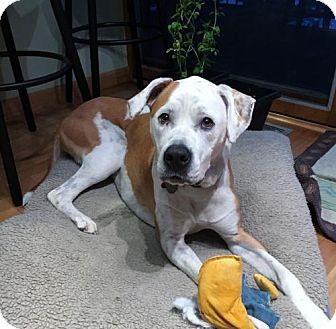 American Bulldog Mix Dog for adoption in Grafton, Wisconsin - Teddy aka Jerry