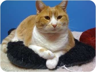 Domestic Shorthair Cat for adoption in Topeka, Kansas - Cheddar