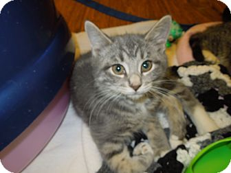 Domestic Shorthair Kitten for adoption in Medina, Ohio - Trudy