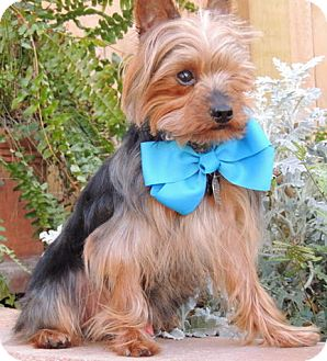 Yorkie, Yorkshire Terrier Mix Dog for adoption in Austin, Texas - Otis