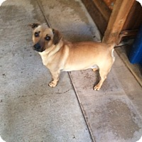 Dachshund/Pit Bull Terrier Mix Dog for adoption in Lafayette, California - Cha Cha