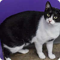 Domestic Shorthair Cat for adoption in Houston, Texas - Gizmo