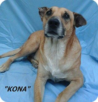 Anatolian Shepherd/Labrador Retriever Mix Dog for adoption in Poway, California - Cafe Kona