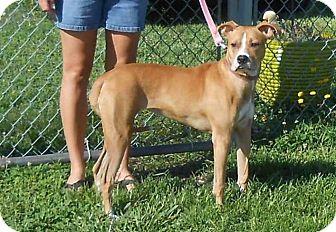 Boxer Mix Dog for adoption in Halifax, North Carolina - Allie