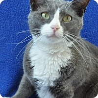 Domestic Shorthair Cat for adoption in Gaithersburg, Maryland - Paolo