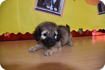 Pug/Pomeranian Mix Puppy for adoption in North Judson, Indiana - Otis