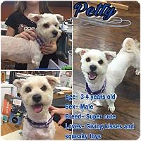Adopt A Pet :: Petty - Colmar, PA