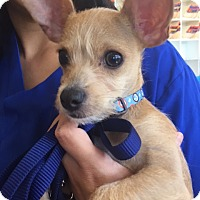 Terrier (Unknown Type, Small)/Chihuahua Mix Puppy for adoption in North Las Vegas, Nevada - Benji