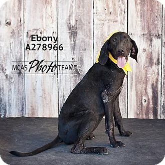 Labrador Retriever Mix Dog for adoption in Conroe, Texas - EBONY