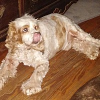 Cocker Spaniel Dog for adoption in Cape Coral, Florida - Asher