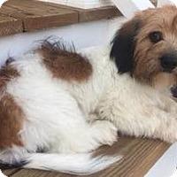 Adopt A Pet :: Falkor - Richmond, VA