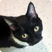 Domestic Shorthair Cat for adoption in Janesville, Wisconsin - Bailey