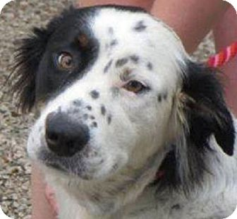 English Setter/Border Collie Mix Dog for adoption in Pine Grove, Pennsylvania - MOLLY