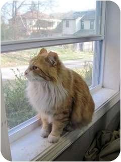 Domestic Mediumhair Cat for adoption in Cincinnati, Ohio - Richard