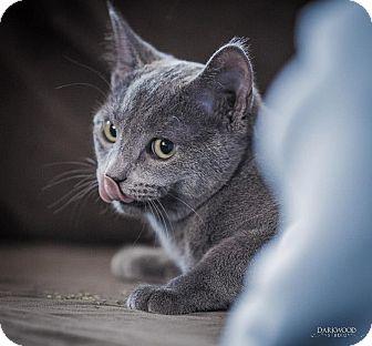 Domestic Shorthair Cat for adoption in St. Louis, Missouri - Zin