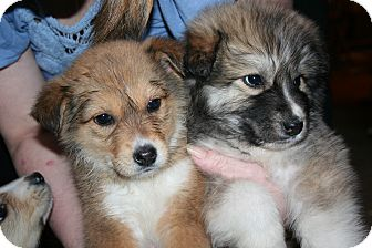 Husky Mix Puppy for adoption in Westfield, Indiana - Sheeba