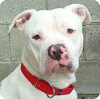 Pit Bull Terrier Mix Dog for adoption in Carmel, New York - Ozzie