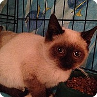 Adopt A Pet :: Coffee Latte - East Hanover, NJ