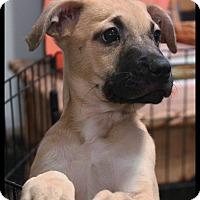 Adopt A Pet :: Nala - Rockwall, TX