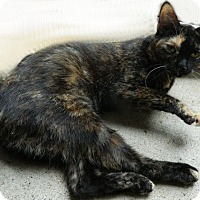 Adopt A Pet :: Amrita - The Colony, TX