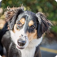 Adopt A Pet :: Optimus - Kingwood, TX