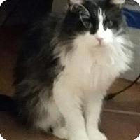 Adopt A Pet :: Silly Cat - Van Nuys, CA