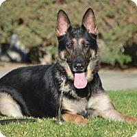 Adopt A Pet :: Gunny - Downey, CA