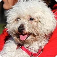 Adopt A Pet :: ANGIE - Boston, MA