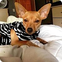 Adopt A Pet :: Cuddles - Fargo, ND