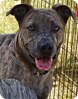 Shepherd (Unknown Type)/Bulldog Mix Dog for adoption in Fincastle, Virginia - Mitchell