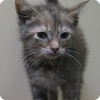 Adopt A Pet :: Brittini - Gary, IN