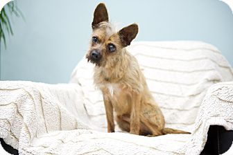 Terrier (Unknown Type, Small) Mix Dog for adoption in Studio City, California - Sparky