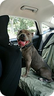 American Pit Bull Terrier Mix Dog for adoption in Tampa, Florida - Mr. Wilson