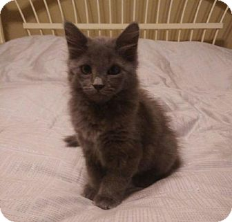 Domestic Mediumhair Kitten for adoption in Fort Worth, Texas - Bluebell