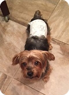 Yorkie, Yorkshire Terrier/Silky Terrier Mix Dog for adoption in N. Babylon, New York - Luckie Duck