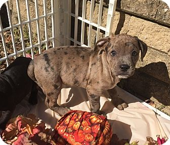 Catahoula Leopard Dog/Pit Bull Terrier Mix Puppy for adoption in Frederick, Maryland - Jason Riley (Riley Pups)