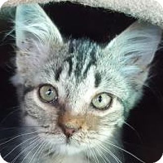American Shorthair Kitten for adoption in Friendswood, Texas - Frenchie