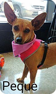 Chihuahua/Dachshund Mix Dog for adoption in San Ysidro, California - Peque