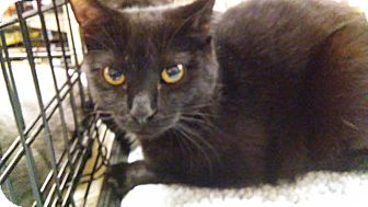 Domestic Shorthair Cat for adoption in Columbus, Ohio - Jasper