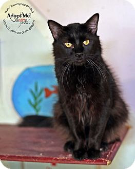 Domestic Longhair Cat for adoption in Lyons, New York - Louie