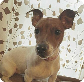 Jack Russell Terrier Mix Dog for adoption in South Bend, Indiana - Sadie 8000