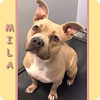 Adopt A Pet :: MILA - Dallas, NC