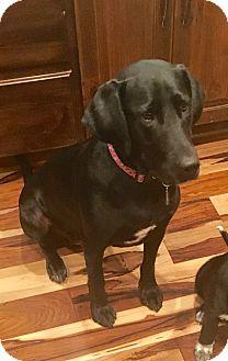 Labrador Retriever Mix Dog for adoption in E. Greenwhich, Rhode Island - Sadie Jane