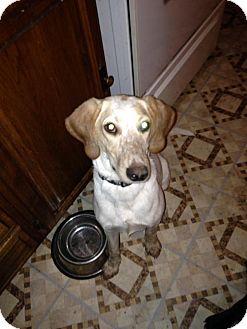 Hound (Unknown Type)/Spaniel (Unknown Type) Mix Dog for adoption in ST LOUIS, Missouri - Freckles