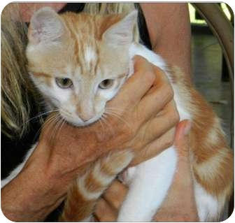 Domestic Shorthair Cat for adoption in Makawao, Hawaii - Little Red