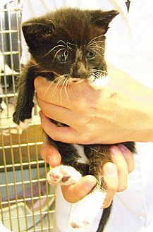 Domestic Shorthair Kitten for adoption in Toledo, Ohio - Halle